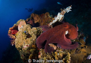 Octopus mating by Tracey Jennings